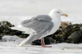 probable Glaucous x Herring Gull backcross adult, aka Nelson's Gull (#2 of 2)