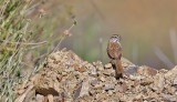 Rufous-crowned Sparrow (#1 of 2)