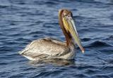 Brown Pelican, basic adult