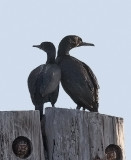Brandt's Cormorants (#1 of 3)