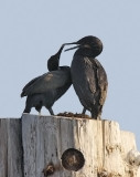 Brandt's Cormorants (#2 of 3)