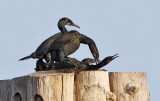 Brandt's Cormorants (#3 of 3)
