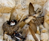 Cliff Swallows (#2 of 3)