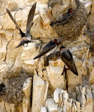 Cliff Swallows (#3 of 3)