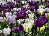 Fantasy in purple and white