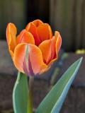 My prize tulip