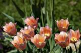 Gaggle of tulips