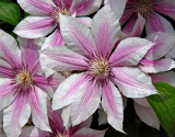 Just another clematis