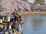 'All Washington' at Cherry Blossom Festival