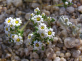 Linanthus maculates