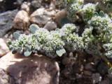 Mojave Desert Wildflower 2