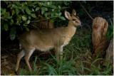 I could be wrong, but this looks like a duiker.