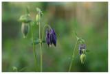 Aquilegia vulgaris hybr.