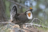 Male Blue Grouse Calling For A Hen