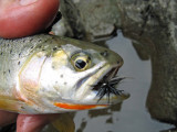 Little Black Fly Does The Trick On This Cutthroat