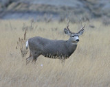 Nice Buck  In Grasslands