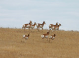 American  Antelope: