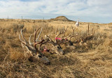 Mule Deer  Racks  after Three Hard Days Of Hunting