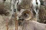 Bighorn Sheep Seen On Way To Hunting Area