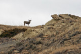 Buck On The Ridge