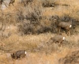 Mule Deer Does Feeding