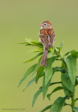 FieldSparrow08c6082.jpg