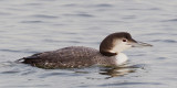 Common Loon