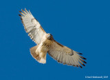 Red-tailedHawk28c4843.jpg