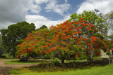 Coral tree at Hidden Vale