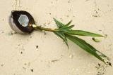 Coconut shoots, Sagheraghi Beach