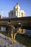 Camel rider behind the Taj Mahal