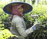Tea picker at Wonosari, Malang, East Java