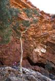 Ghost gum, Ormiston Gorge