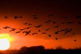 Sandhill Crane Migration, 2008