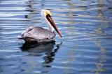 Harbor Pelican