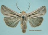 10447 Leucania commoides