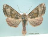 932292 (9547) Phlogophora periculosa