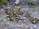 Papilionoidea -  4153 TO 4617