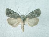 10055 Apharetra dentata (localized)