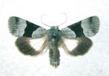10123 Ococnemis piffardi (Localized/Occasional)