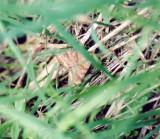 930923 (8738) Caenurgina Crassiuscula
