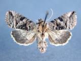 931162 (8881) Abrostola urentis Rare