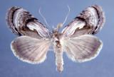 931186 (8904) Chrysanympha formosa Rare