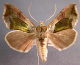 931179 (8897) Diachrysia balluca