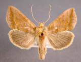 931178 (8896) Diachrysia aeroides
