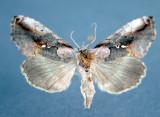 931187 (8905) Eosphoropteryx thyatyroides Rare