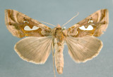 931209 (8907) Megalographa  biloba Rare migratory