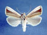 931235 (8953) Plusia venusta  Very rare