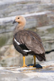 Upland Goose - Magelhaengans - Chloephaga picta