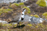 Two-banded Plover - Falklandplevier - Charadrius falklandicus